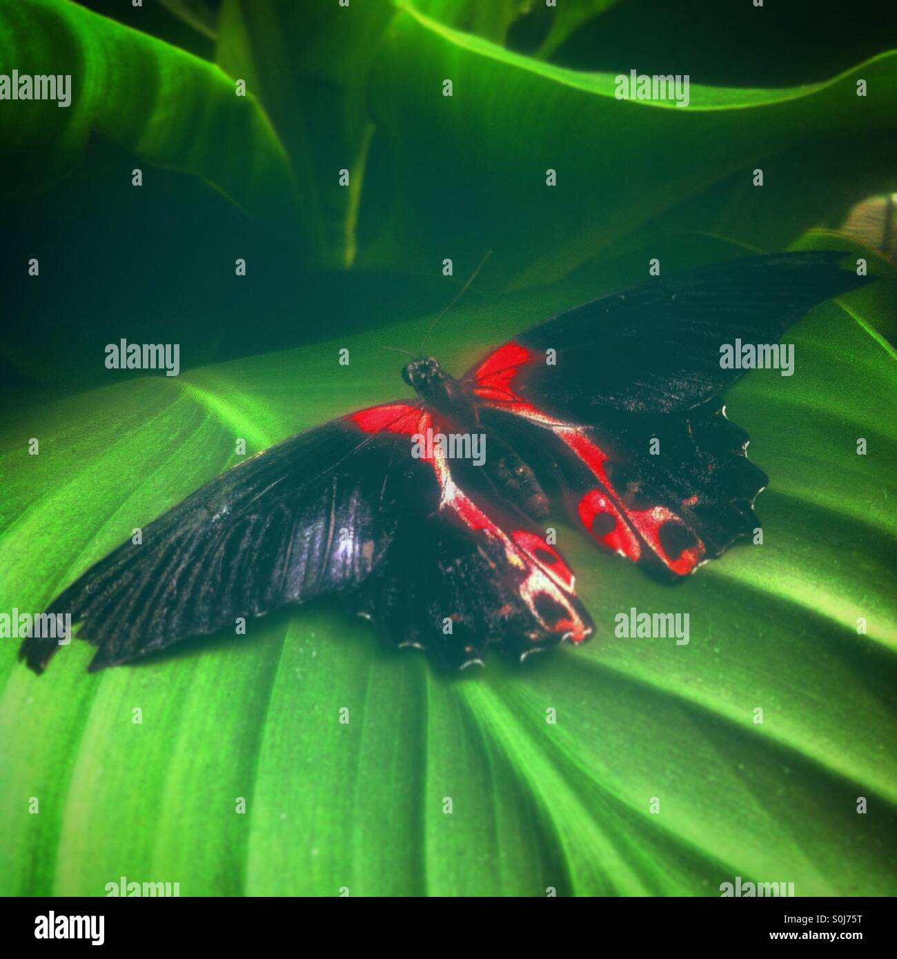 Schwarze und rote Schmetterling auf einem grünen Blatt. Stockbild