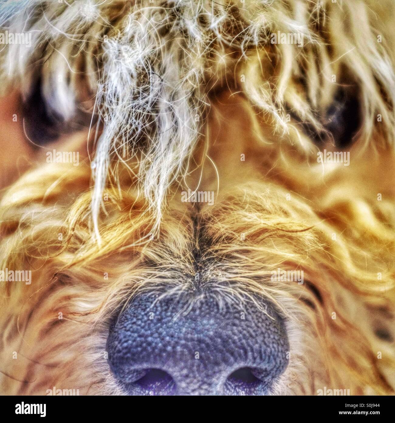 Schäferhund! Ein kleiner Hund mit großen Haar braucht einen Schnitt Stockbild