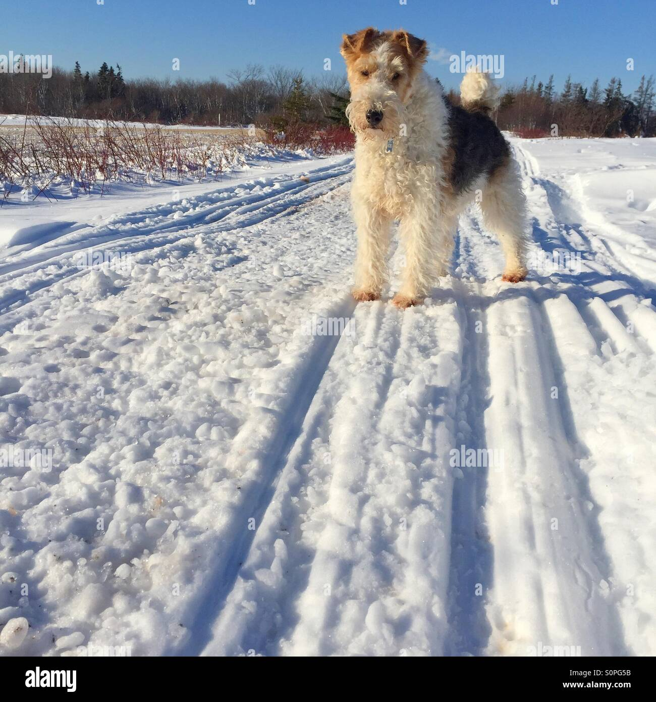 Wire Fox Terrier Standing On Stockfotos & Wire Fox Terrier Standing ...