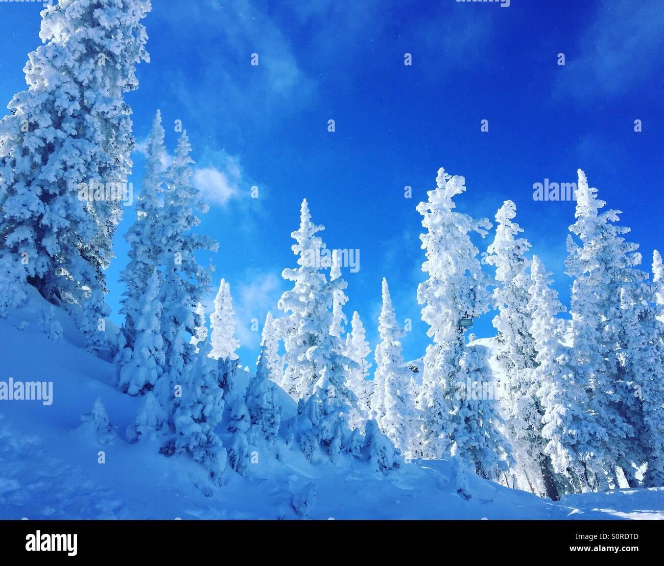 Verschneite Bäume vor blauem Himmel. Stockbild