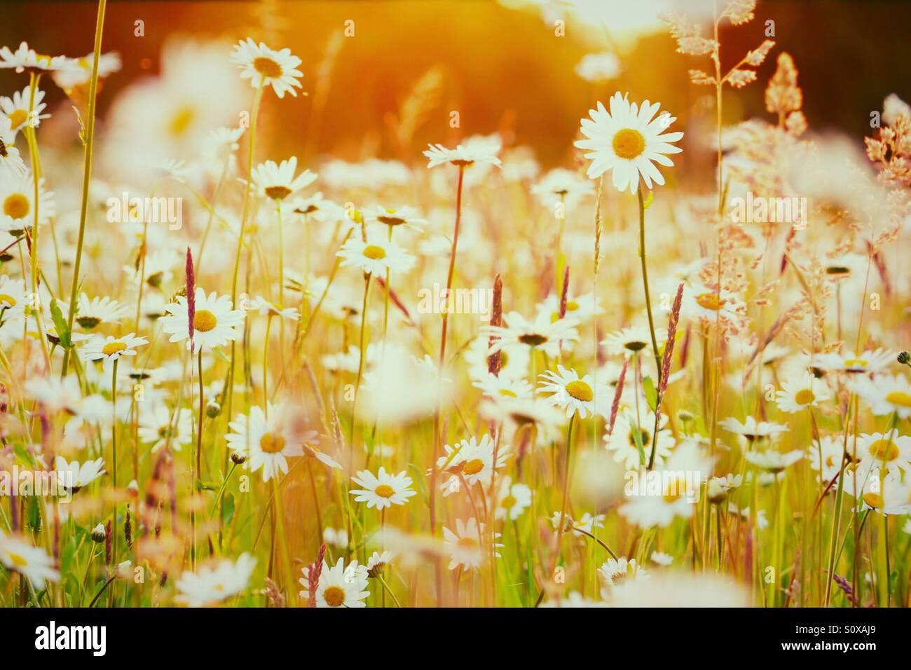 Wildblumen Feld in der Abendsonne Stockbild