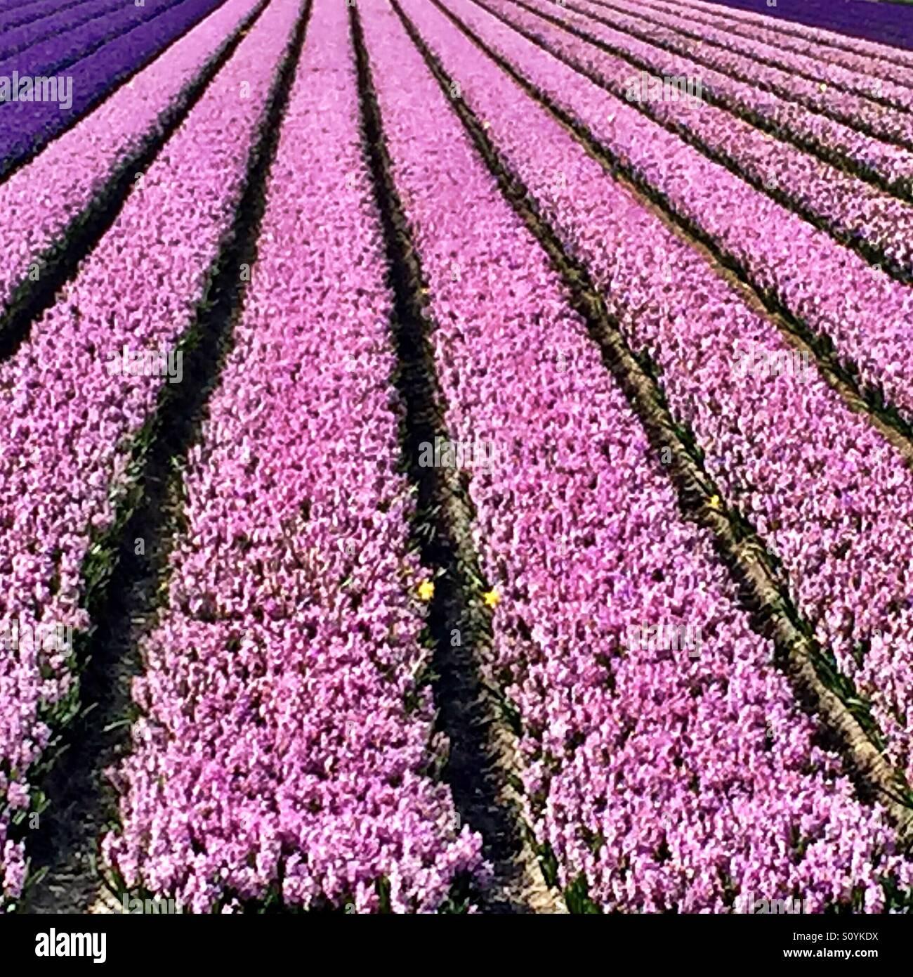 Felder der blühenden rosa und lila Hyazinthe in Holland. Stockbild