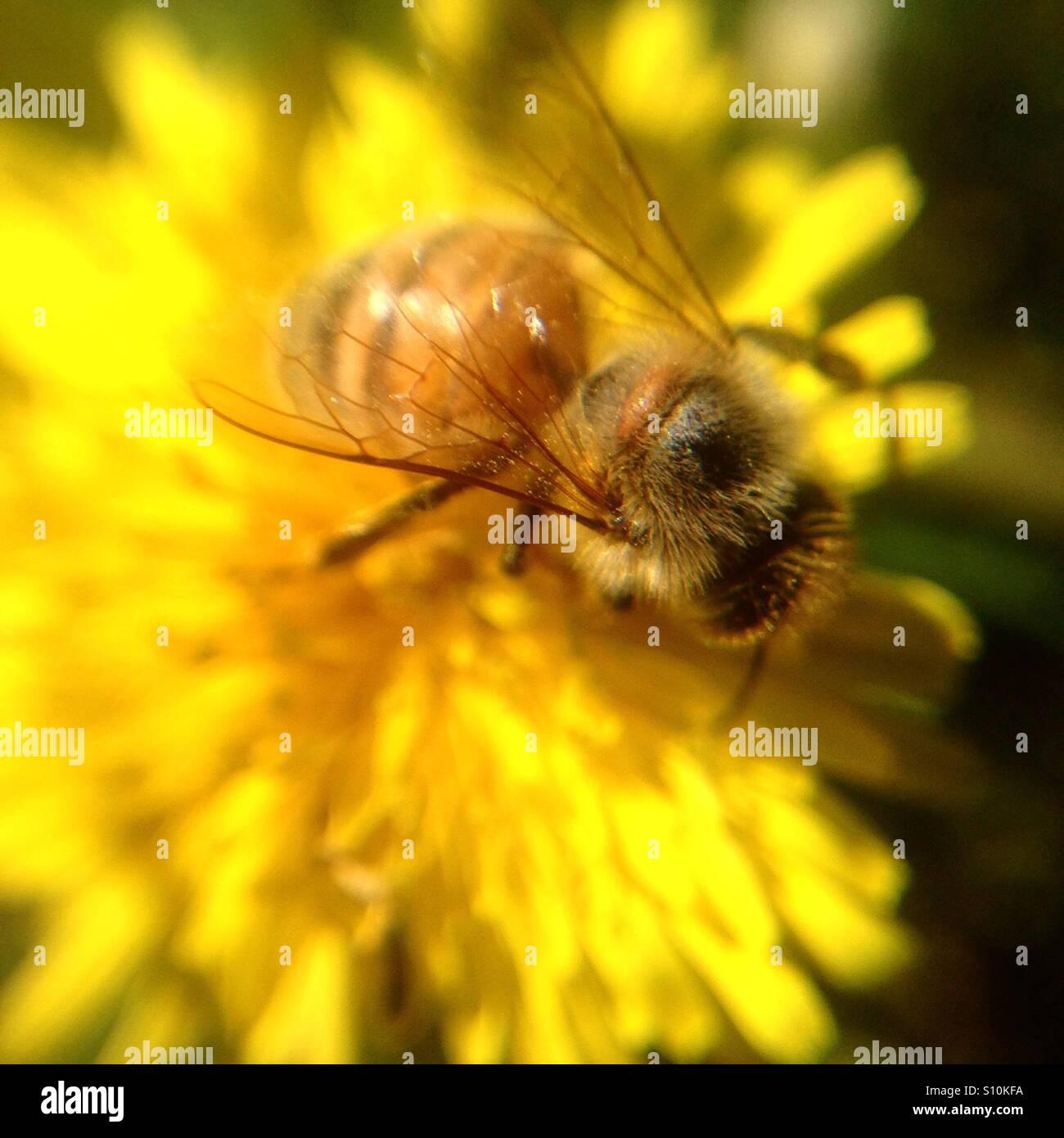 Bee Pollen sammeln. Stockbild