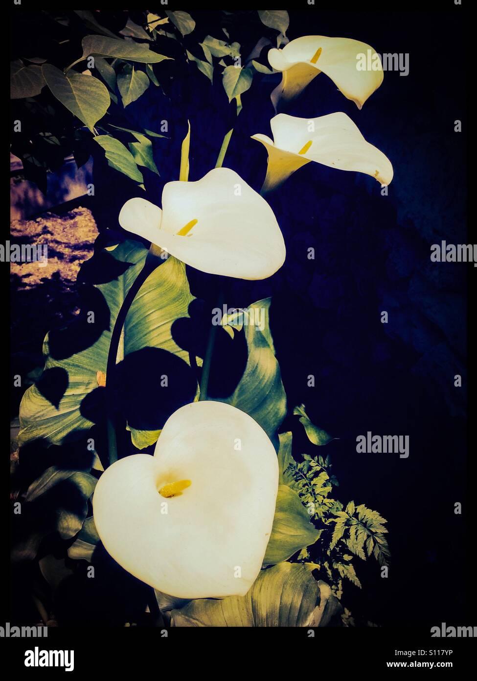 Vier Calla Lilien. Stockbild