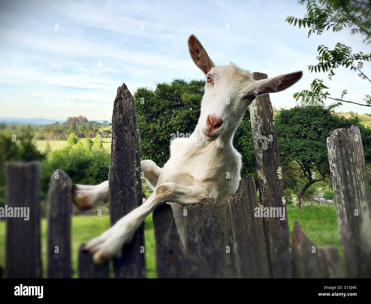 Eine Lustige Weisse Ziege An Einen Zaun Gelehnt Stockfoto Bild