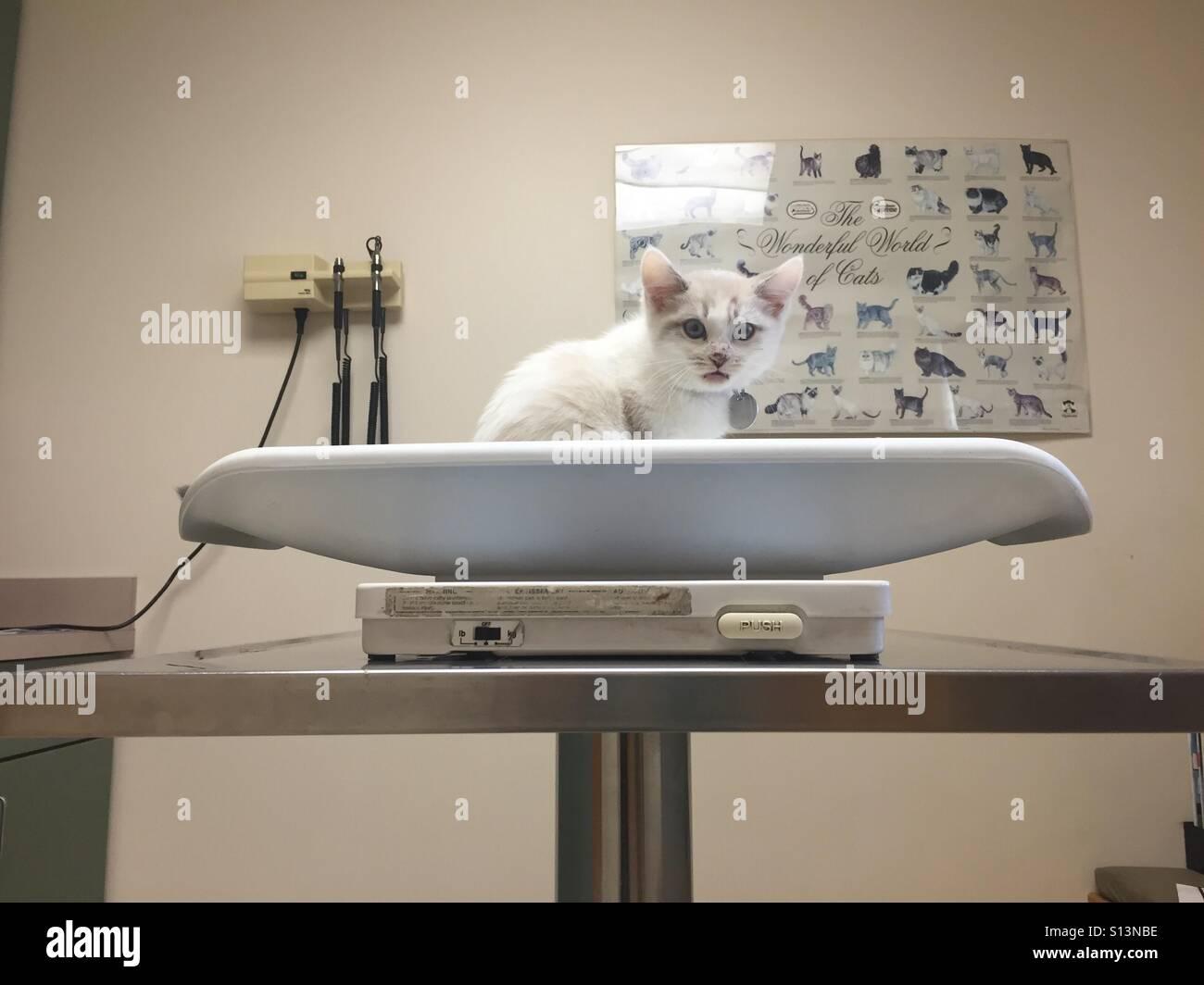 Ein kleines Lynx-Point Kätzchen miaut und sieht in einem Tierarzt Büro erschrocken. Stockbild