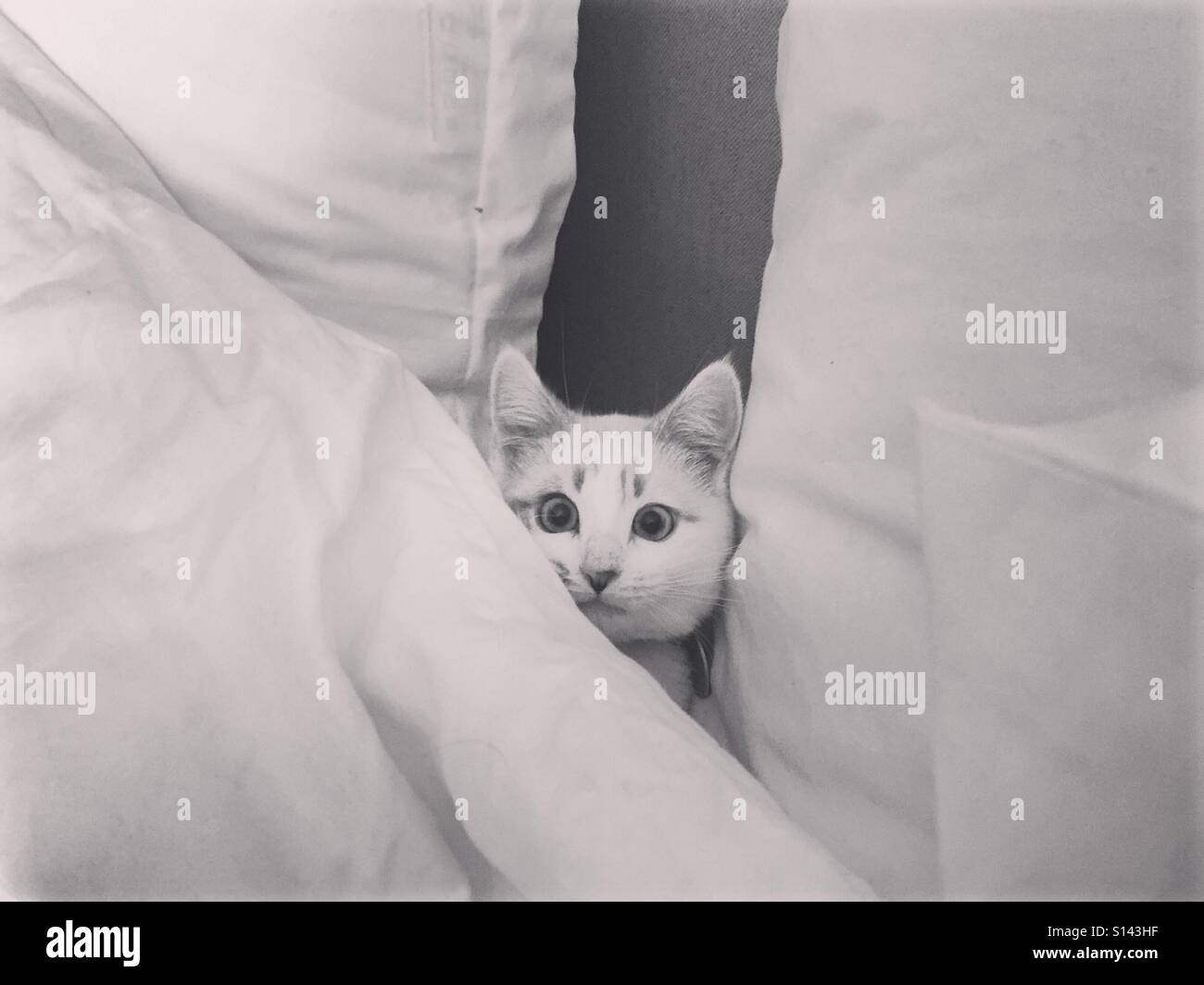 Ein lustiges Foto einer weißen Katze versteckt sich in weißen Kissen und decken. Stockbild