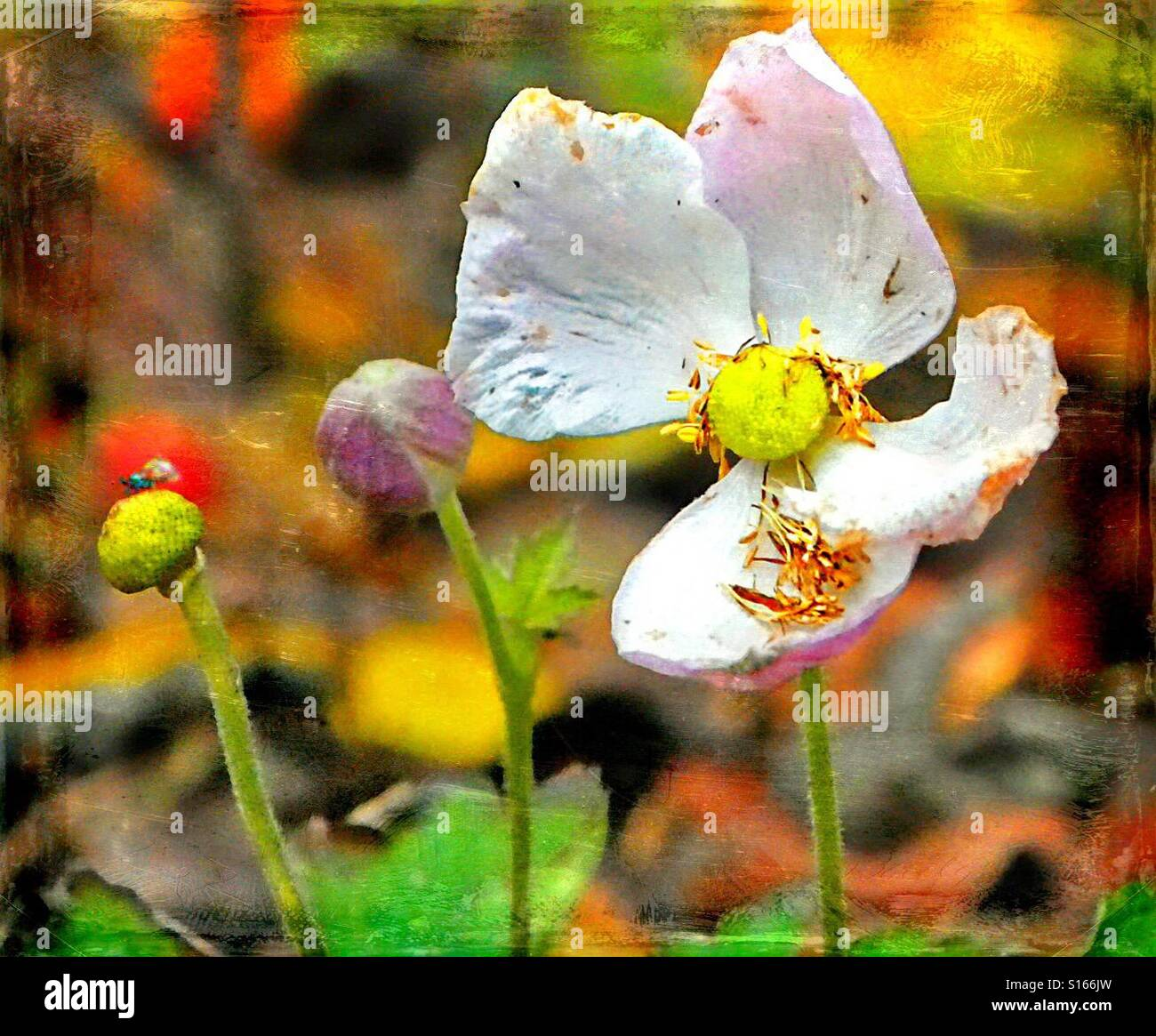 Herbst Anemone Verliert Blatter Stockfoto Bild 310538225 Alamy