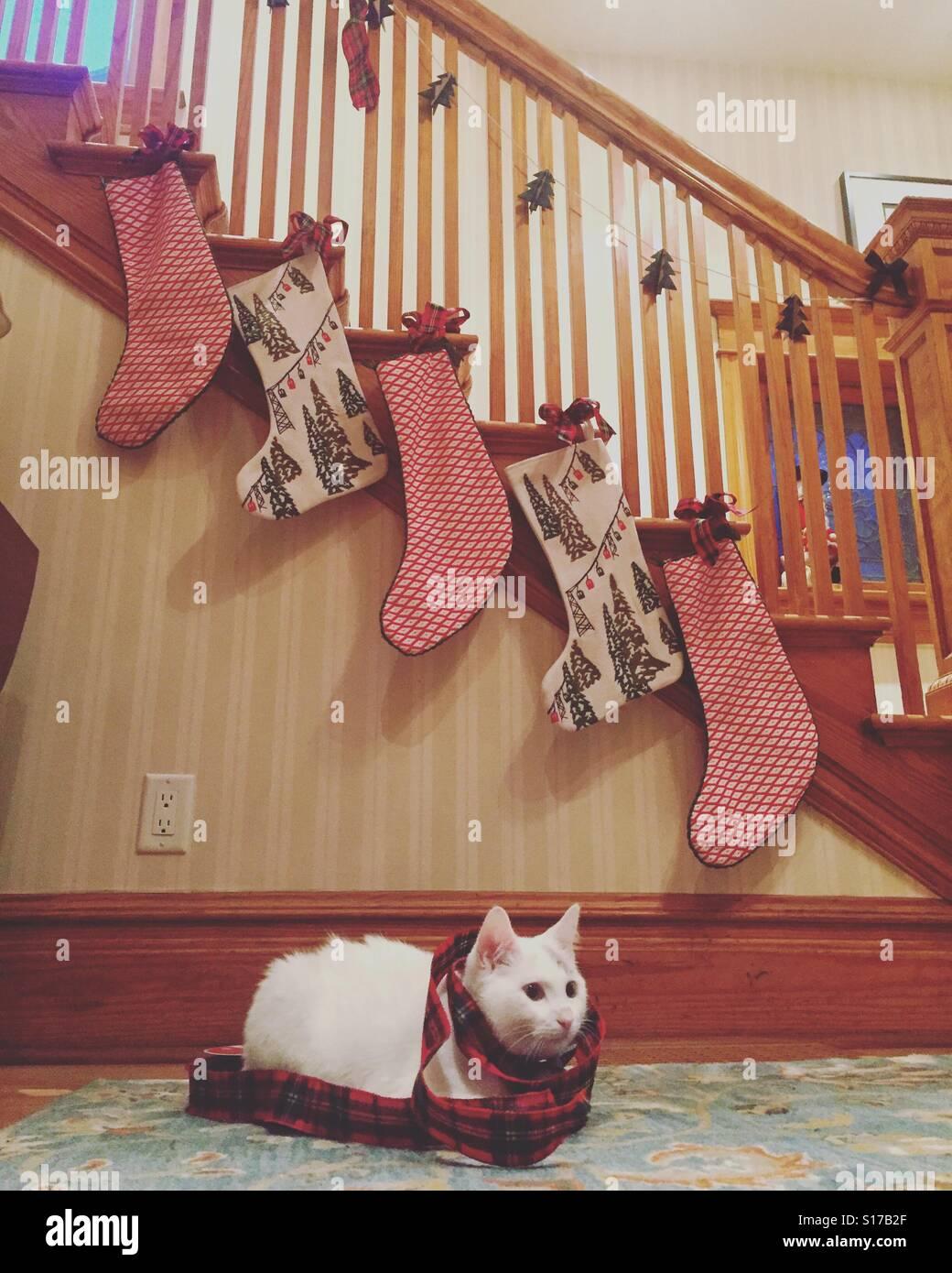 Eine süße weiße Katze eingehüllt in Weihnachten Ribbon sitzt unter Weihnachtsstrümpfe. Stockbild