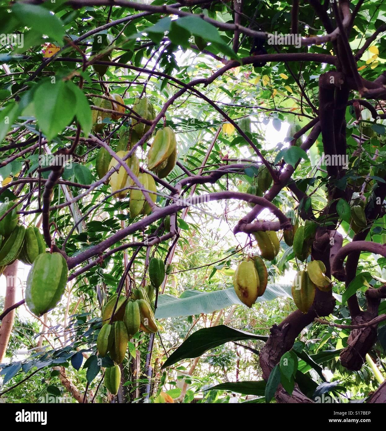Sternfrucht Baum Stockbild
