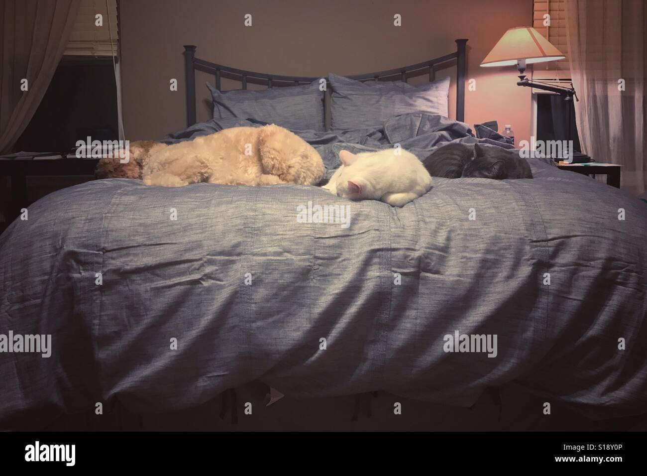 Ein Hund und zwei Katzen nehmen das gesamte Bett. Stockfoto