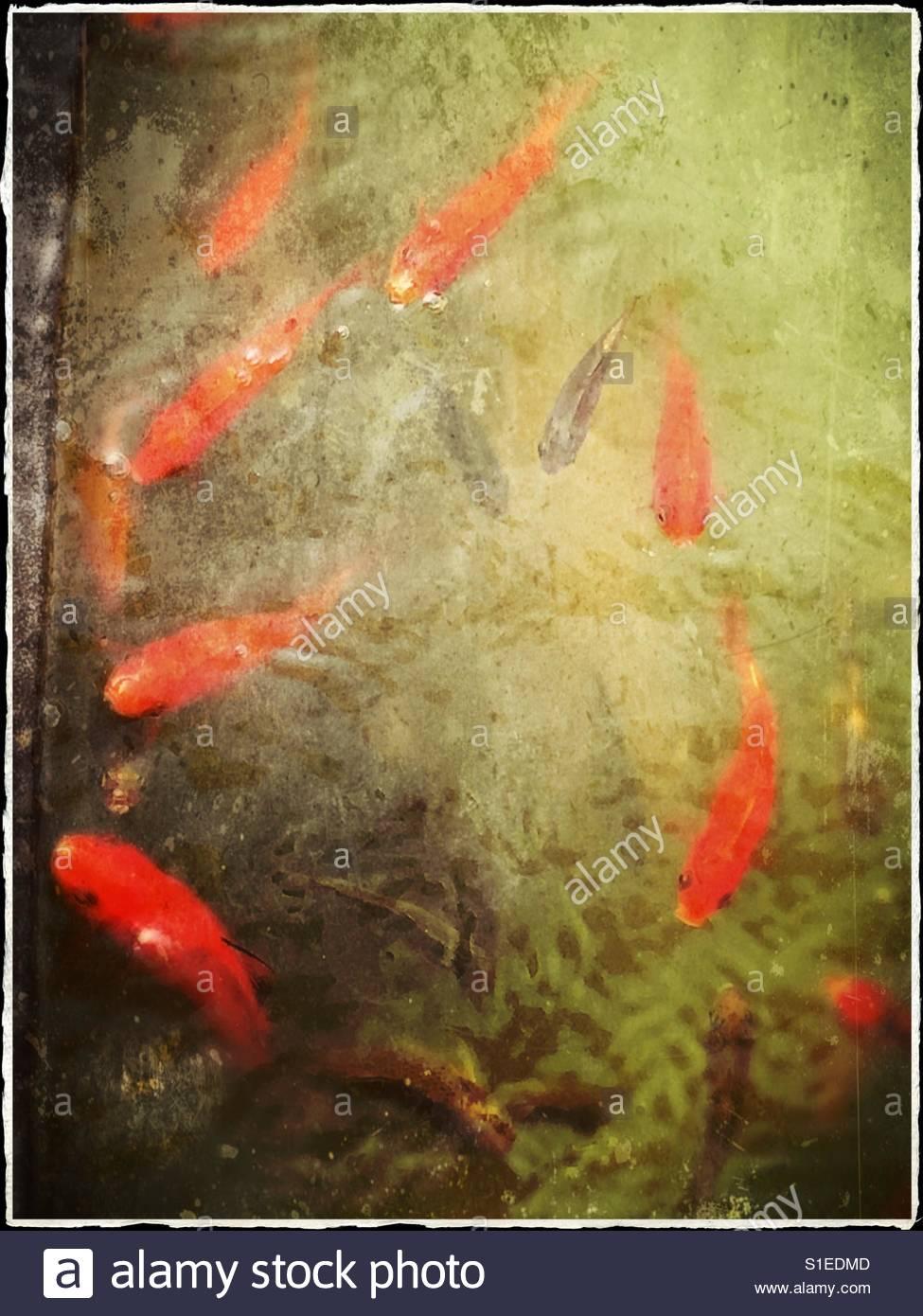 goldfische im teich best kois und goldfische vertragen. Black Bedroom Furniture Sets. Home Design Ideas