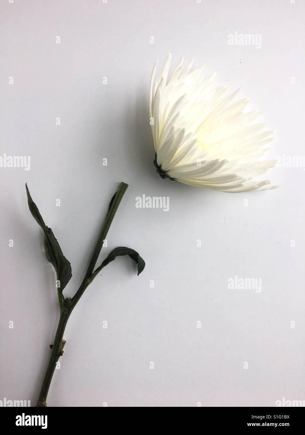 Eine gebrochene weiße Blume. Stockbild