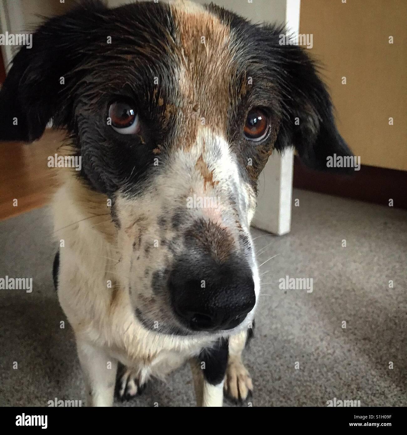 Schuldig schlammigen Collie Hund Stockbild