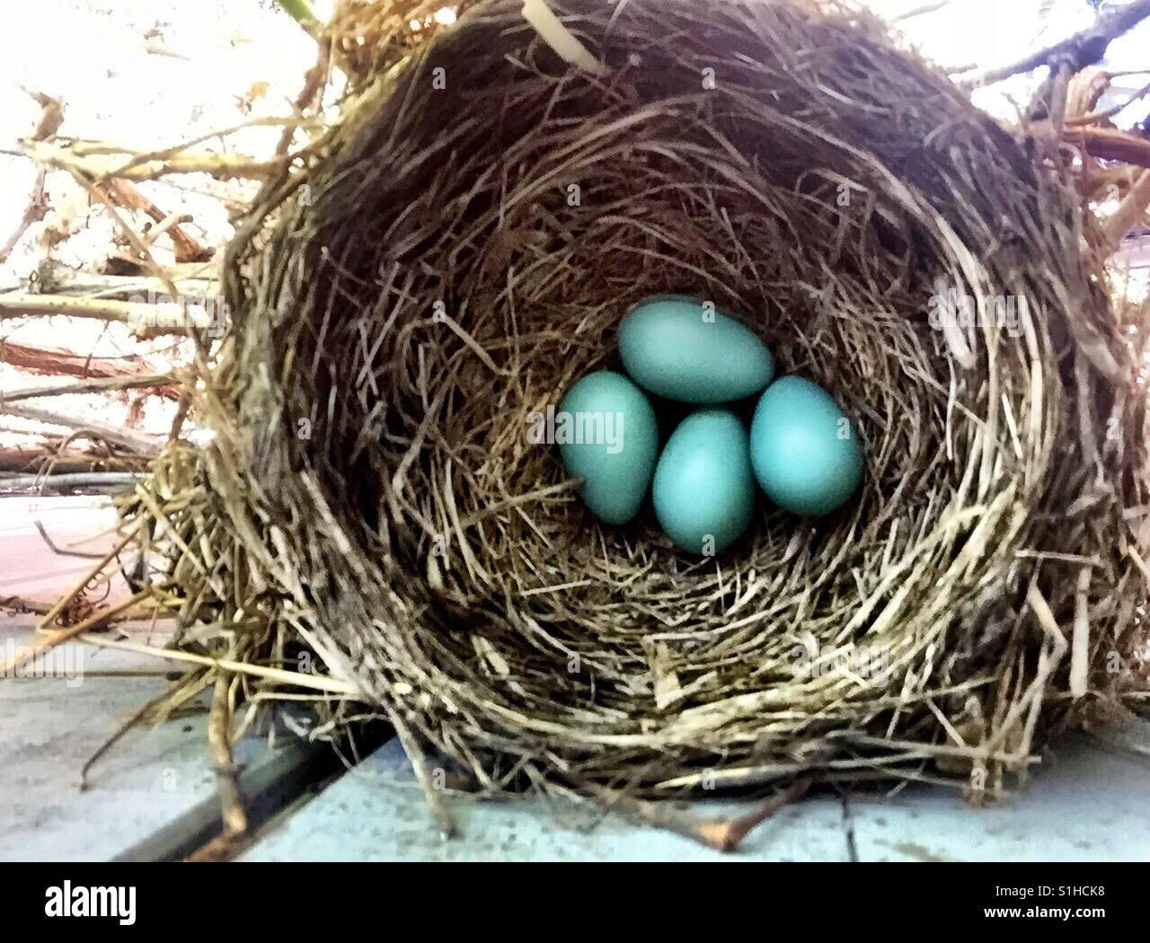 Eine perfekte Vogelnest hält vier Robin Ei blauen Eiern. Stockbild