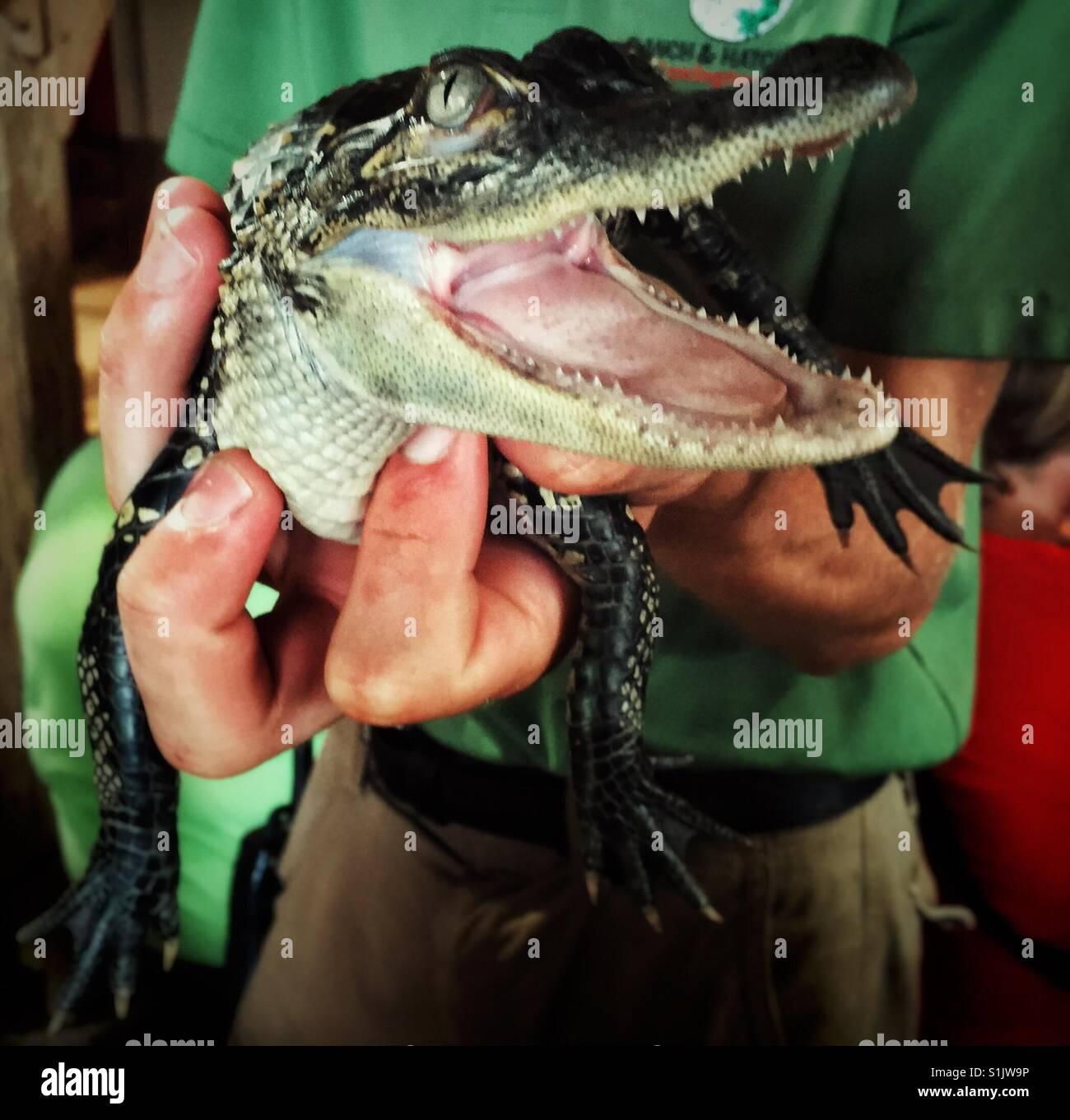Mann, der 9 Monate alten Alligator in seiner Hand hält Stockbild