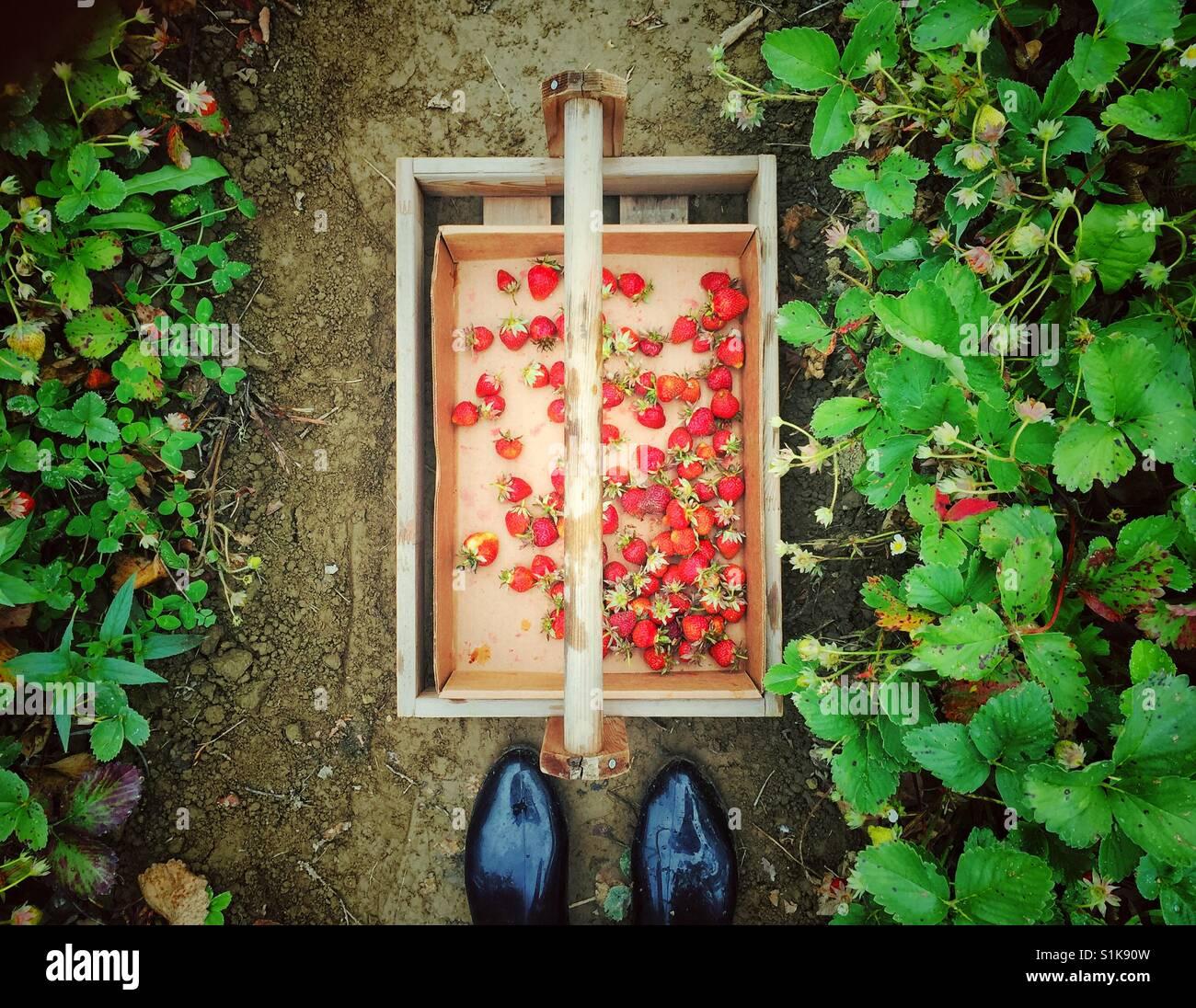 Erdbeeren pflücken Saison Stockbild
