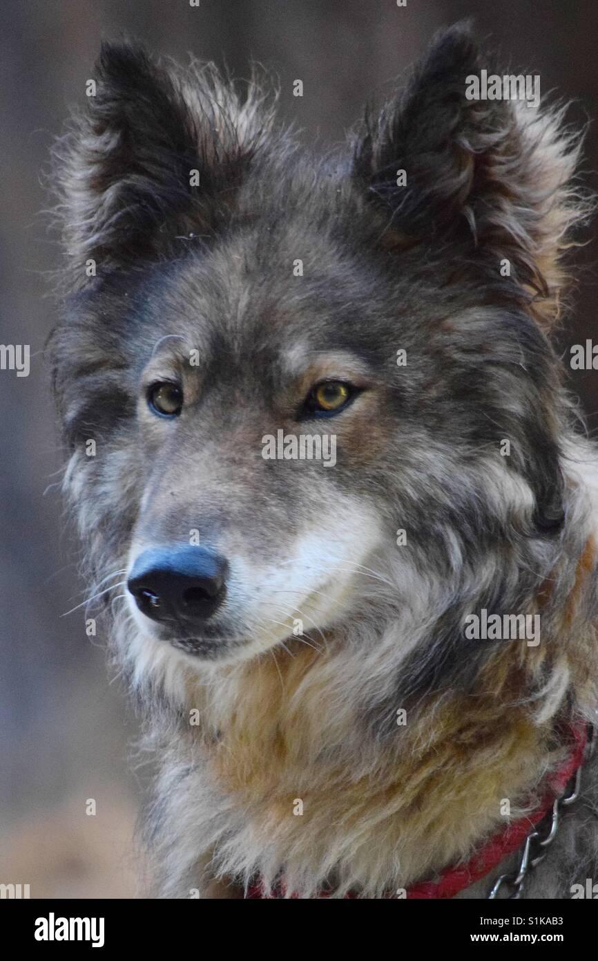 Dieses Porträt von einem Wolf-Hund nimmt die Intensität der bernsteinfarbenen Augen und spiegelt ihre Stockbild