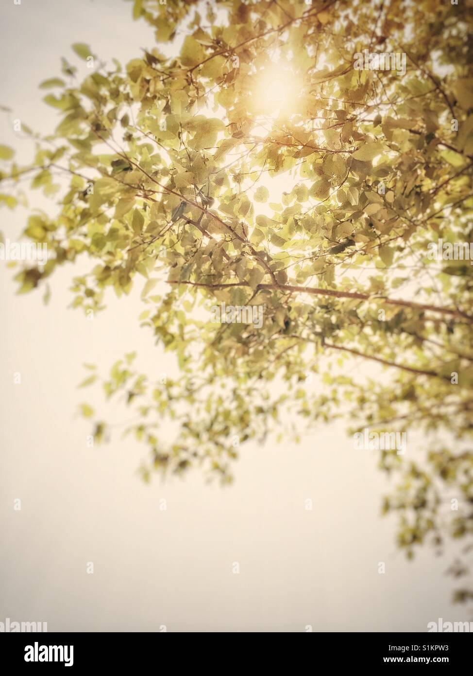 Zusammenfassung der Baum verlässt Hintergrundbeleuchtung durch Sonne unter einem dunstigen Himmel. Stockfoto