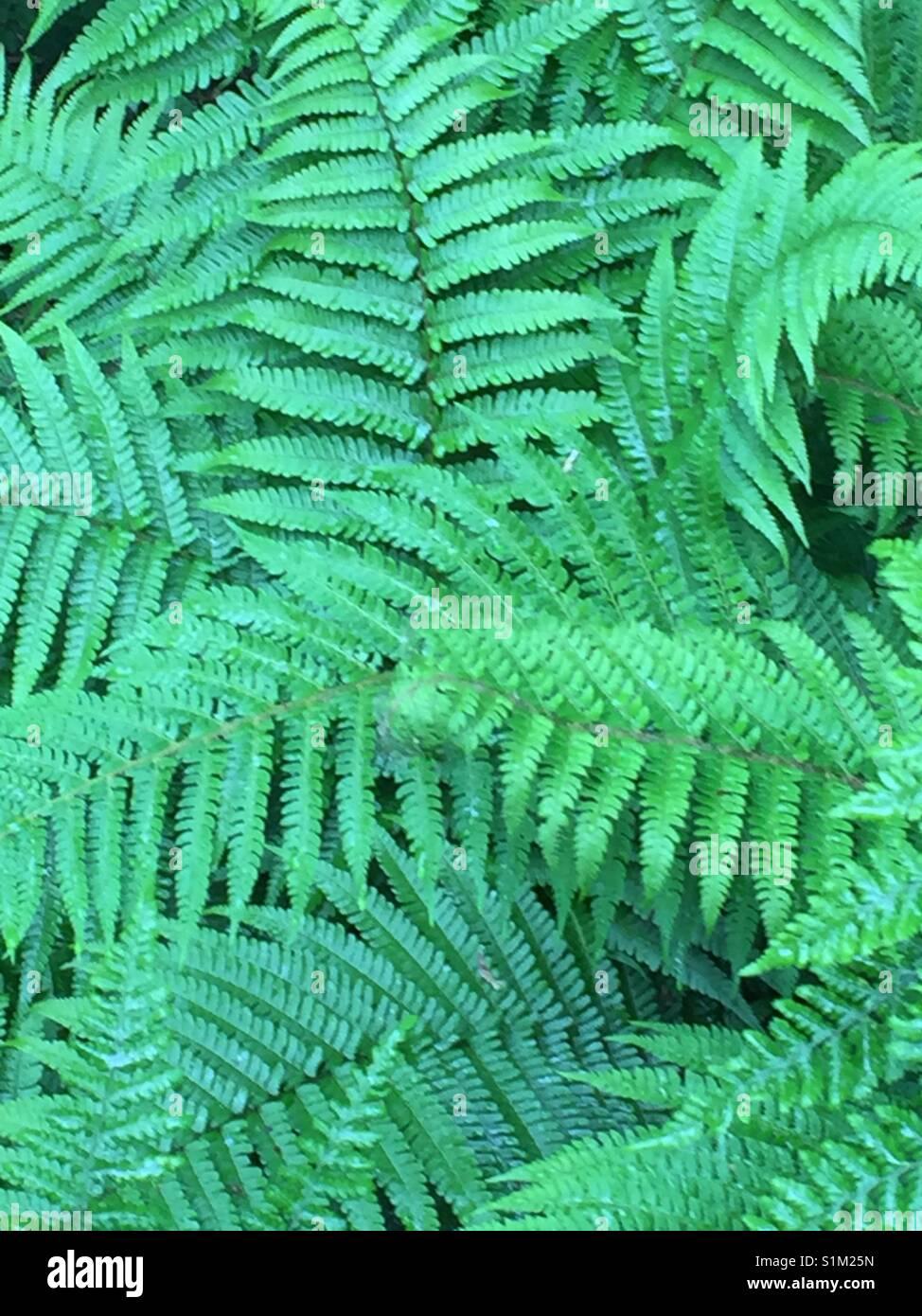 Grüne Farnwedel. Dryopteris filix-mas. Grüne Farnkrautwedel. Stockbild