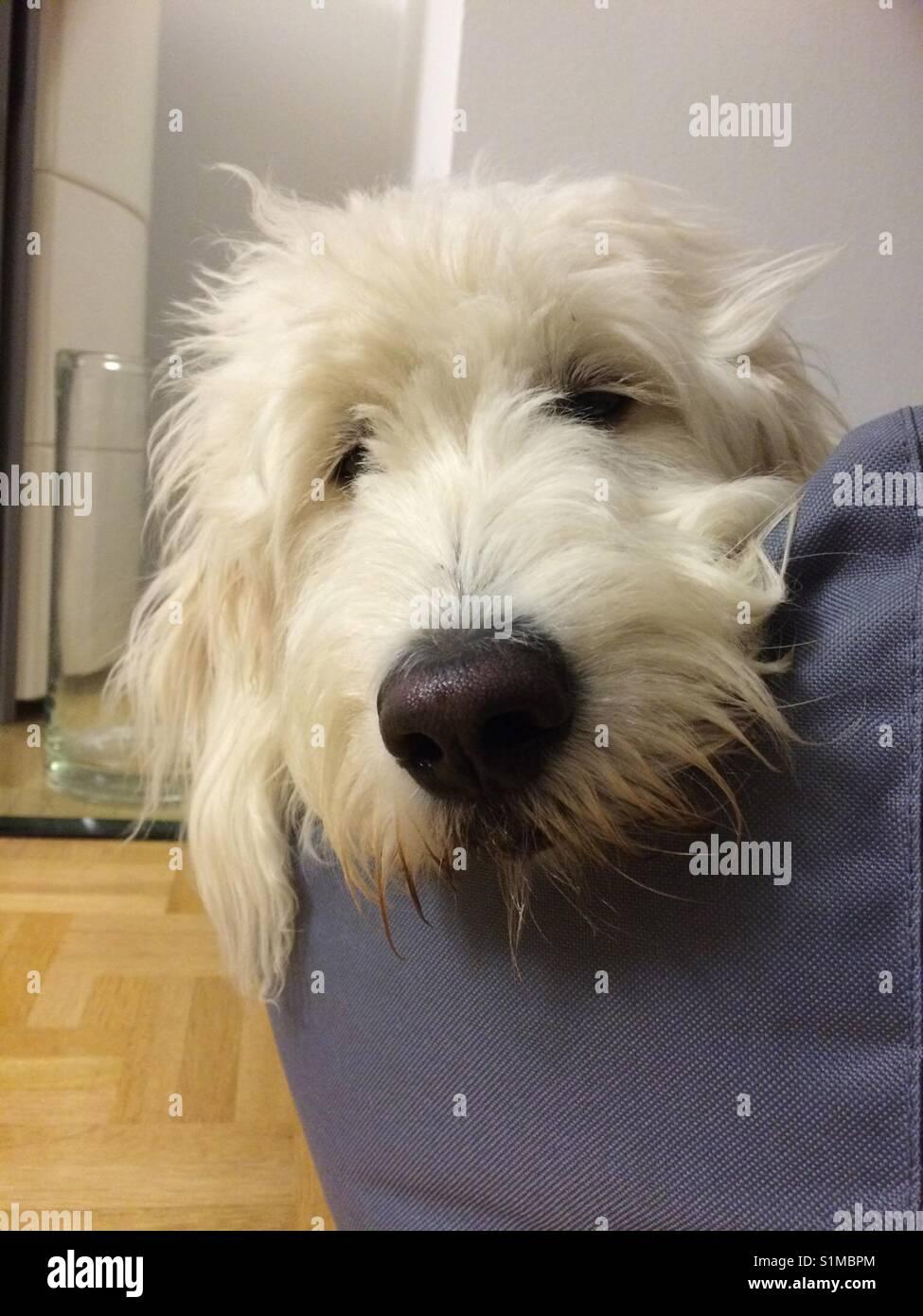 Goldendoodle in dreambay Bett, weiß hund, schwarze Nase, weisser Hund guckt in die Kamera im Hundebett liegend Stockbild