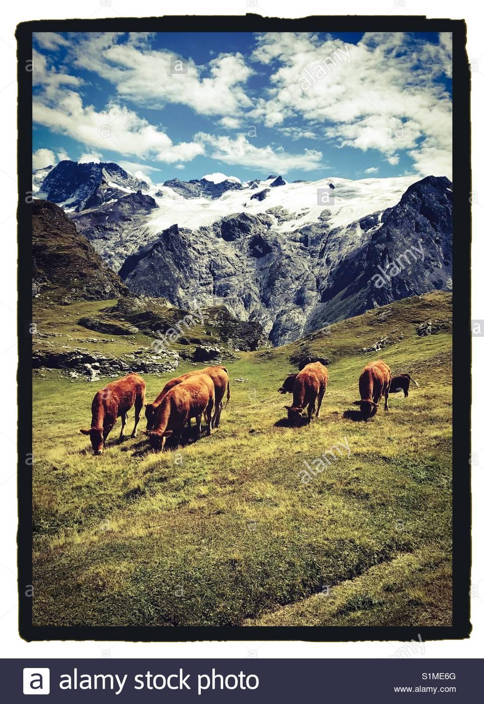 Kühe in der Fr viel Alpen mit Gletscher eine n Hintergrund Stockbild