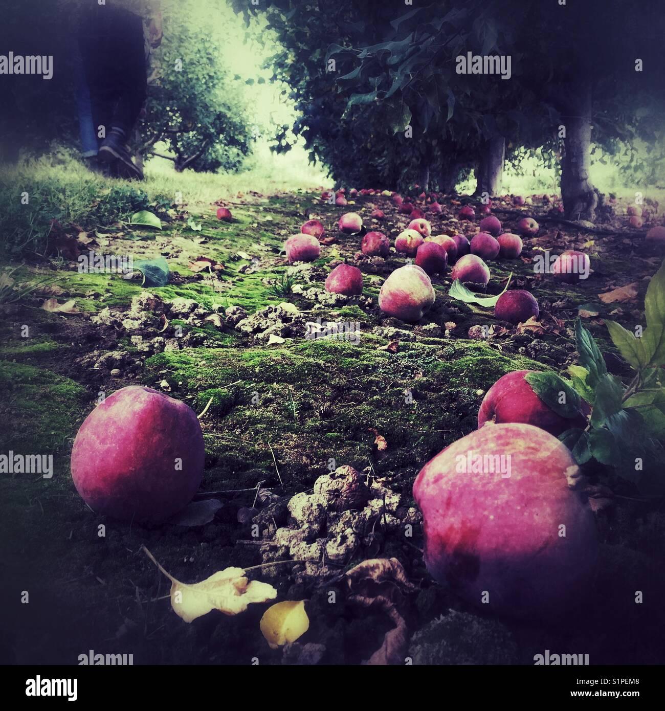 Reife äpfel auf den Boden unter den Bäumen im Obstgarten, Spokane, WA Stockbild