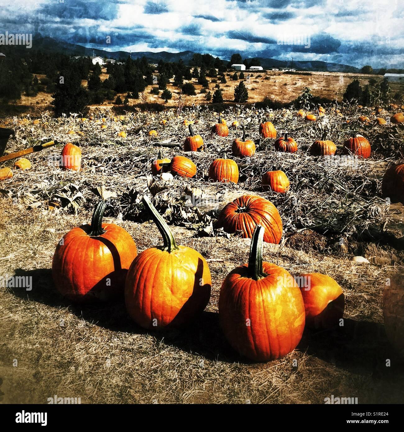 Eine sehr große Pumpkin Patch in Spokane, WA Stockbild