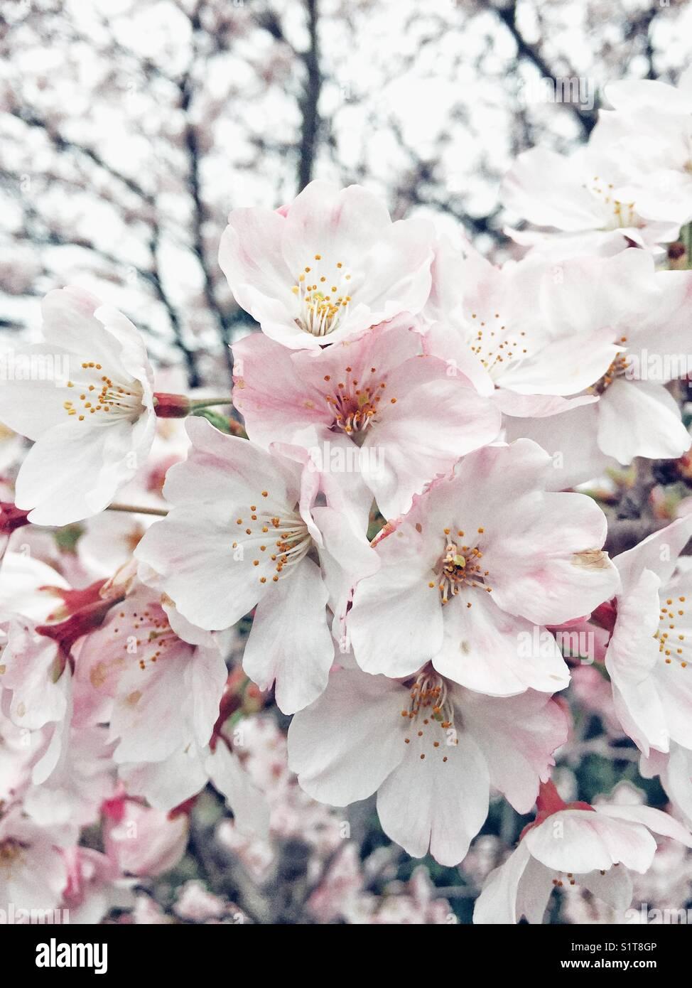 Kirschbaum Zweig mit Blumen in voller Blüte in Japan Stockbild