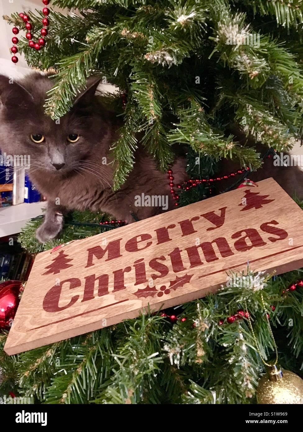 Frohe Weihnachten Katze.Graue Katze In Weihnachtsbaum Mit Frohe Weihnachten Anmelden