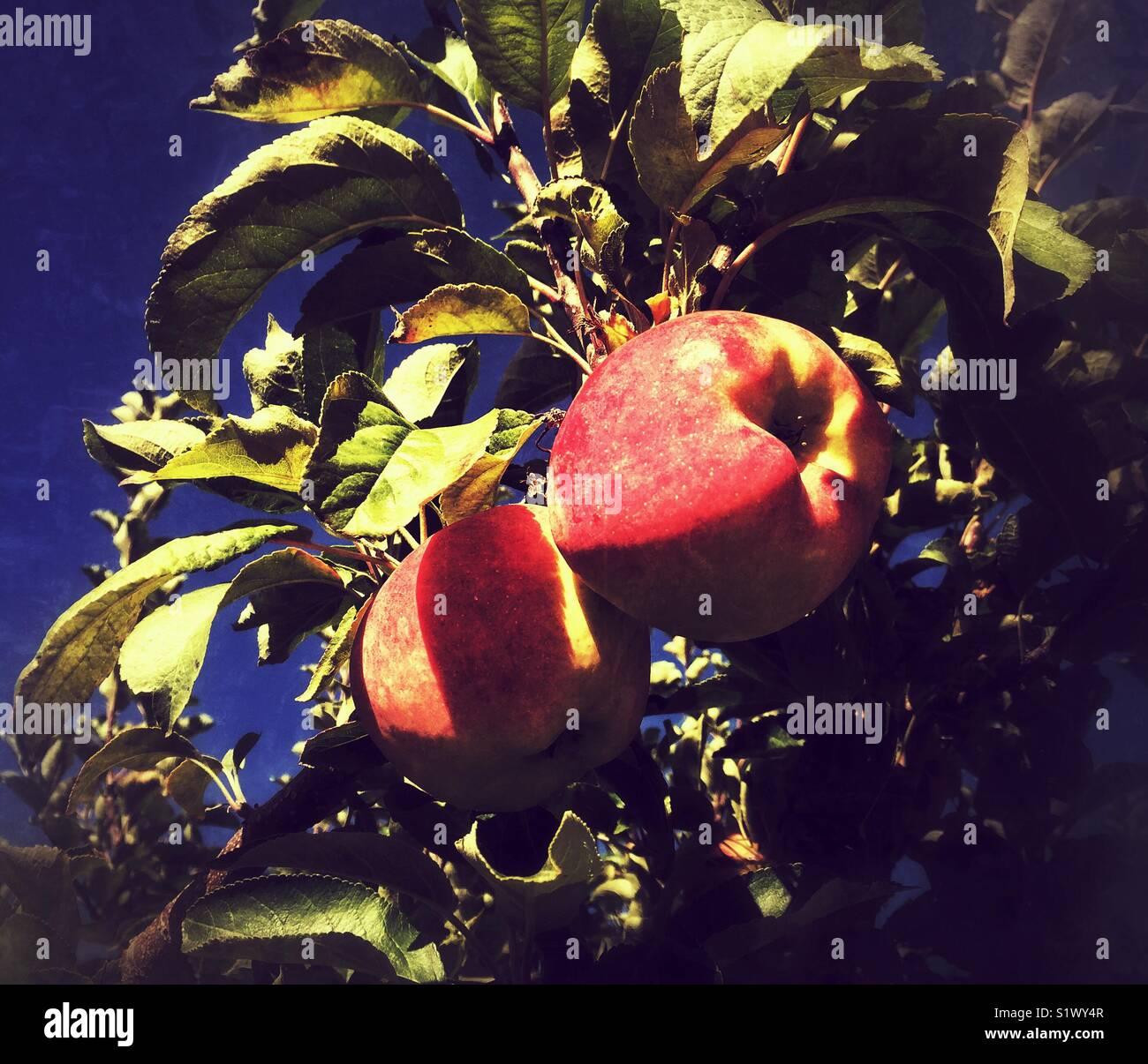 Reife äpfel auf einem Baum Stockbild