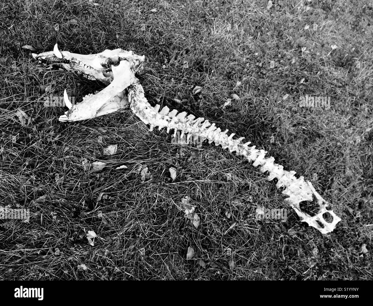 Tier Skelett tot Tod Konzept Wildschwein Räuber Beute Wirbelsäule Kopf Anatomie Wirbelsäule Schädel Knochen Zähne Stockfoto