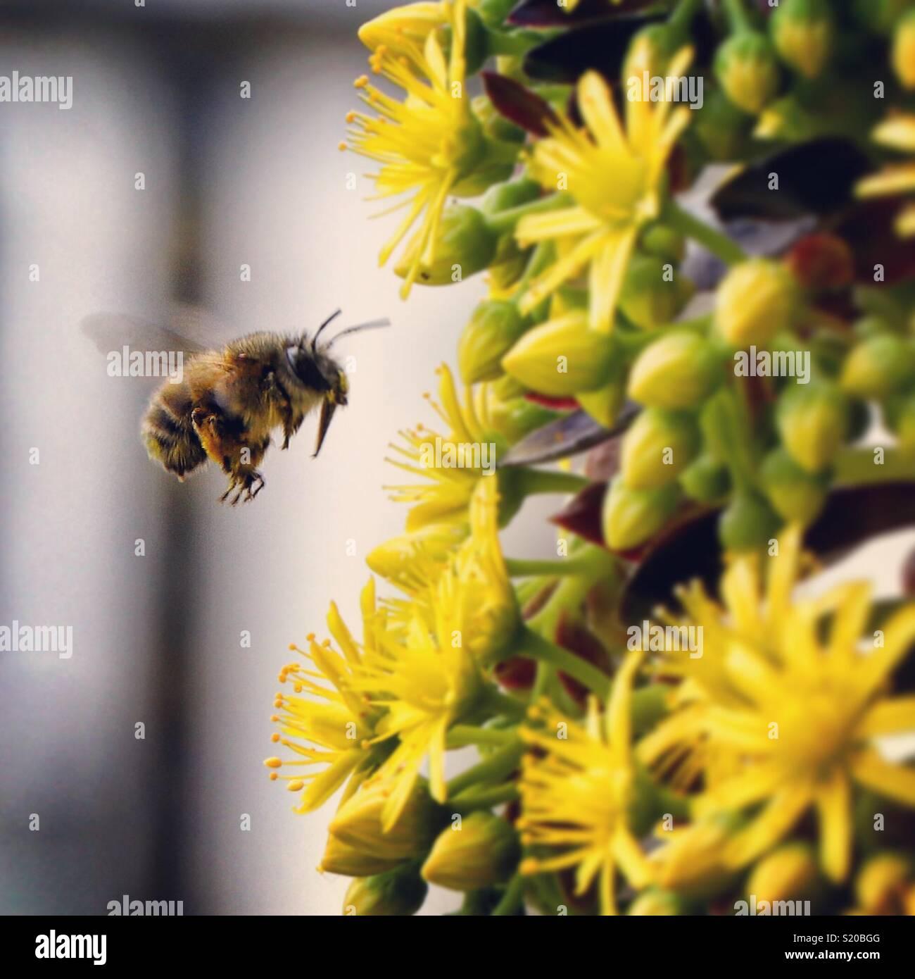 Bee in der Nähe von eine gelbe Blume bestäuben Stockbild