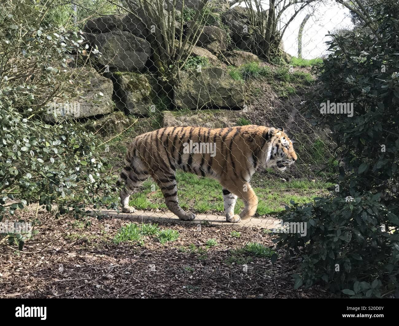 Tiger im Marwell Zoo Stockfoto, Bild: 311026155 Alamy