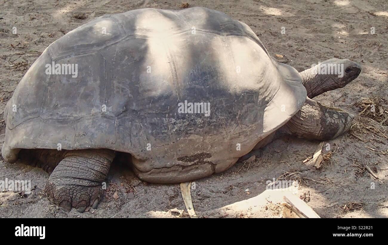 Eine riesige Schildkröte als eine vollständige Aufzeichnung im Profil auf den Seychellen, dreht sie sofort und kriecht entfernt Stockbild