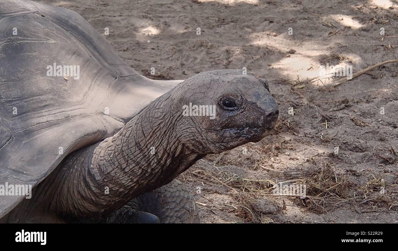 Porträt eines erwachsenen Riesenschildkröte auf der linken Seite sieht man den Kopf, die Augen, der lange Hals und ein Teil der Schildkröte Panzers, Copyspace auf der rechten Seite Stockbild