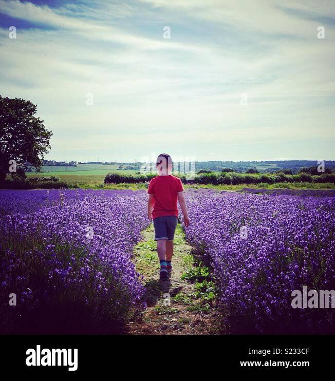 Kind zu Fuß durch Lavendelfelder in der englischen Landschaft Stockbild