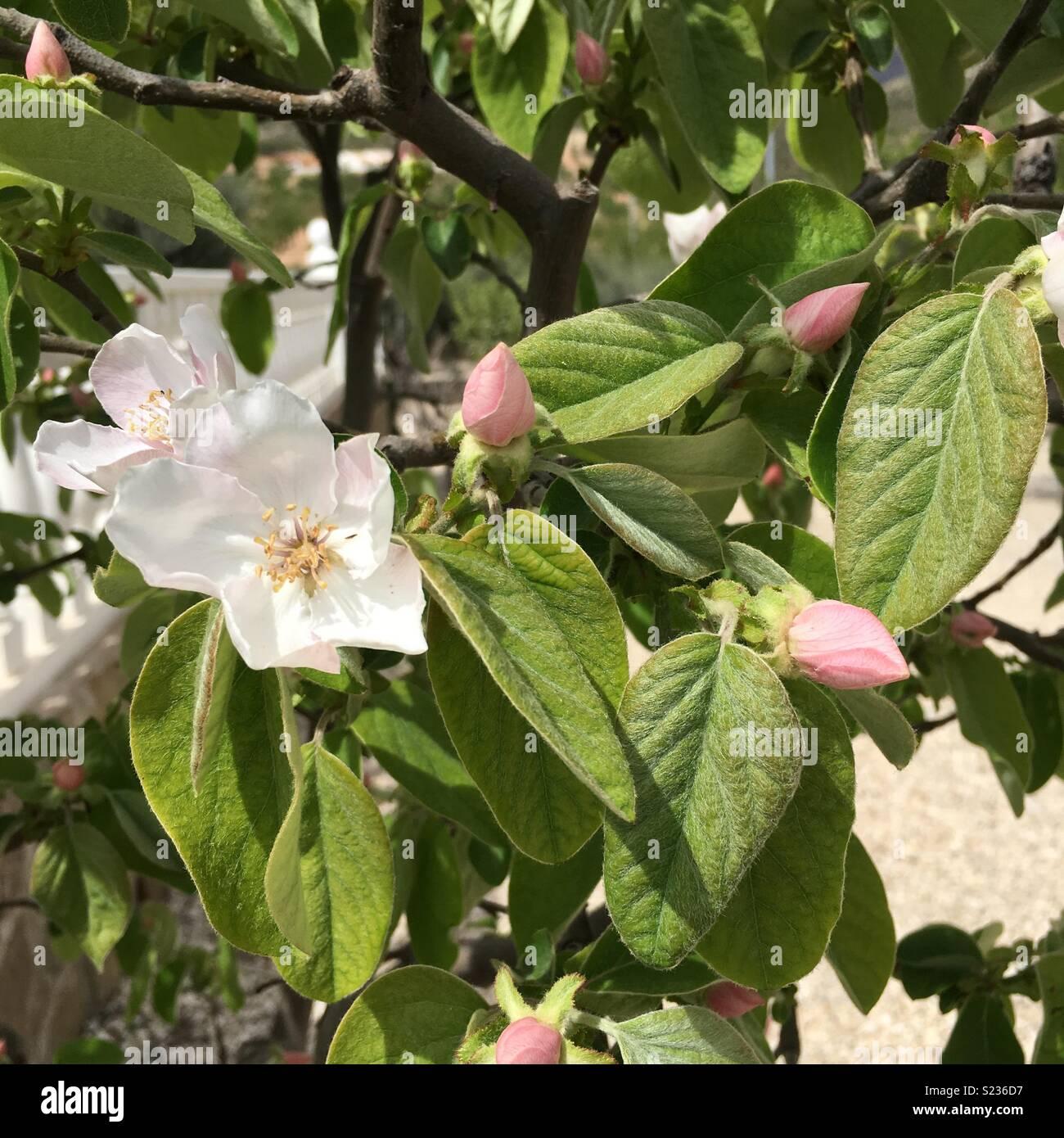 Quitte Baum in Blüte Stockbild