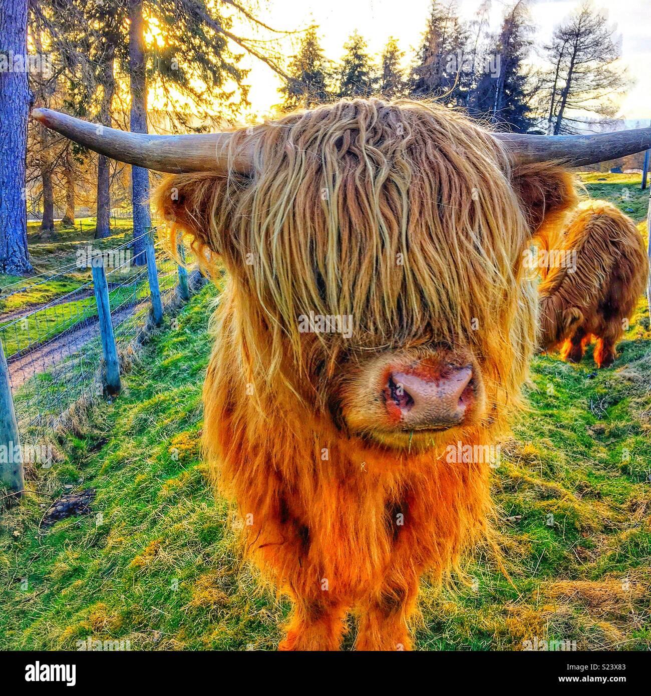 Highland-Kuh Stockfoto