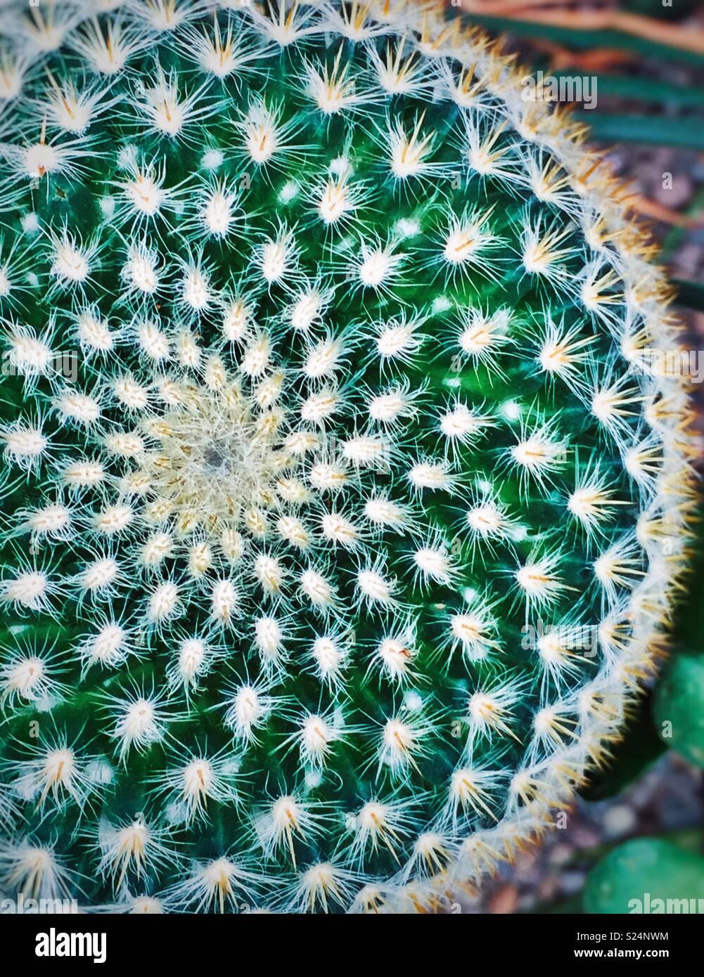 Radiale Spirale Symmetrie Blick von oben auf ein Kaktus Anlage Stockbild