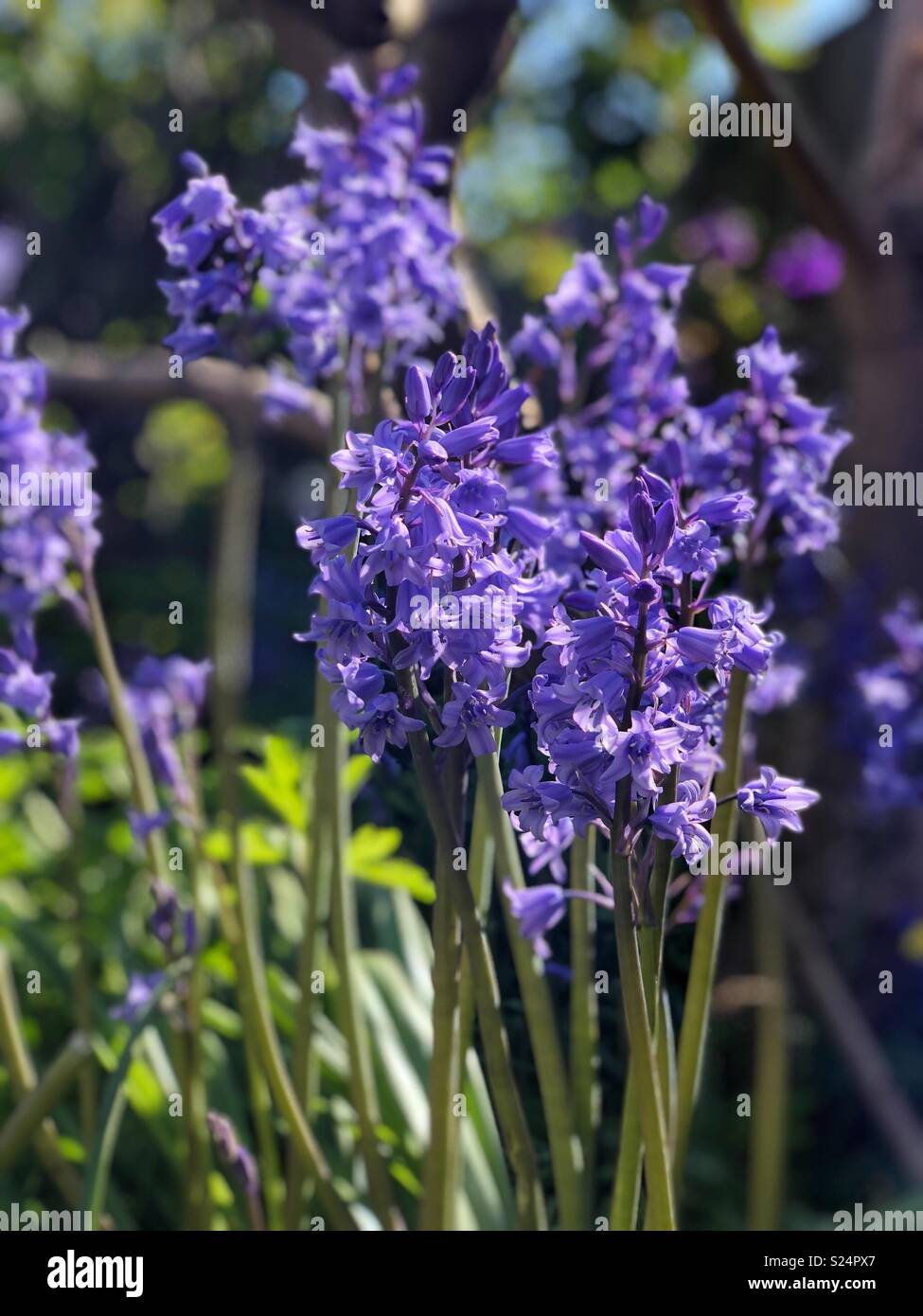 Bluebells im Garten, Hyacinthoides non-scripta, Asparagaceae Stockbild