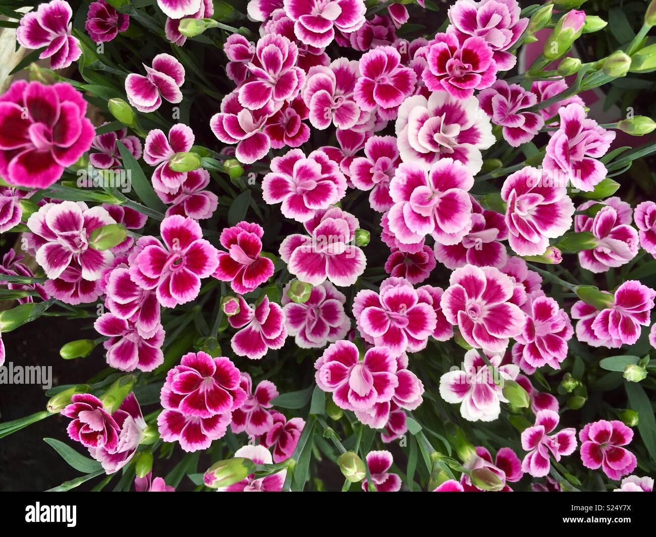 dianthus pink kisses stockfotos dianthus pink kisses bilder alamy. Black Bedroom Furniture Sets. Home Design Ideas