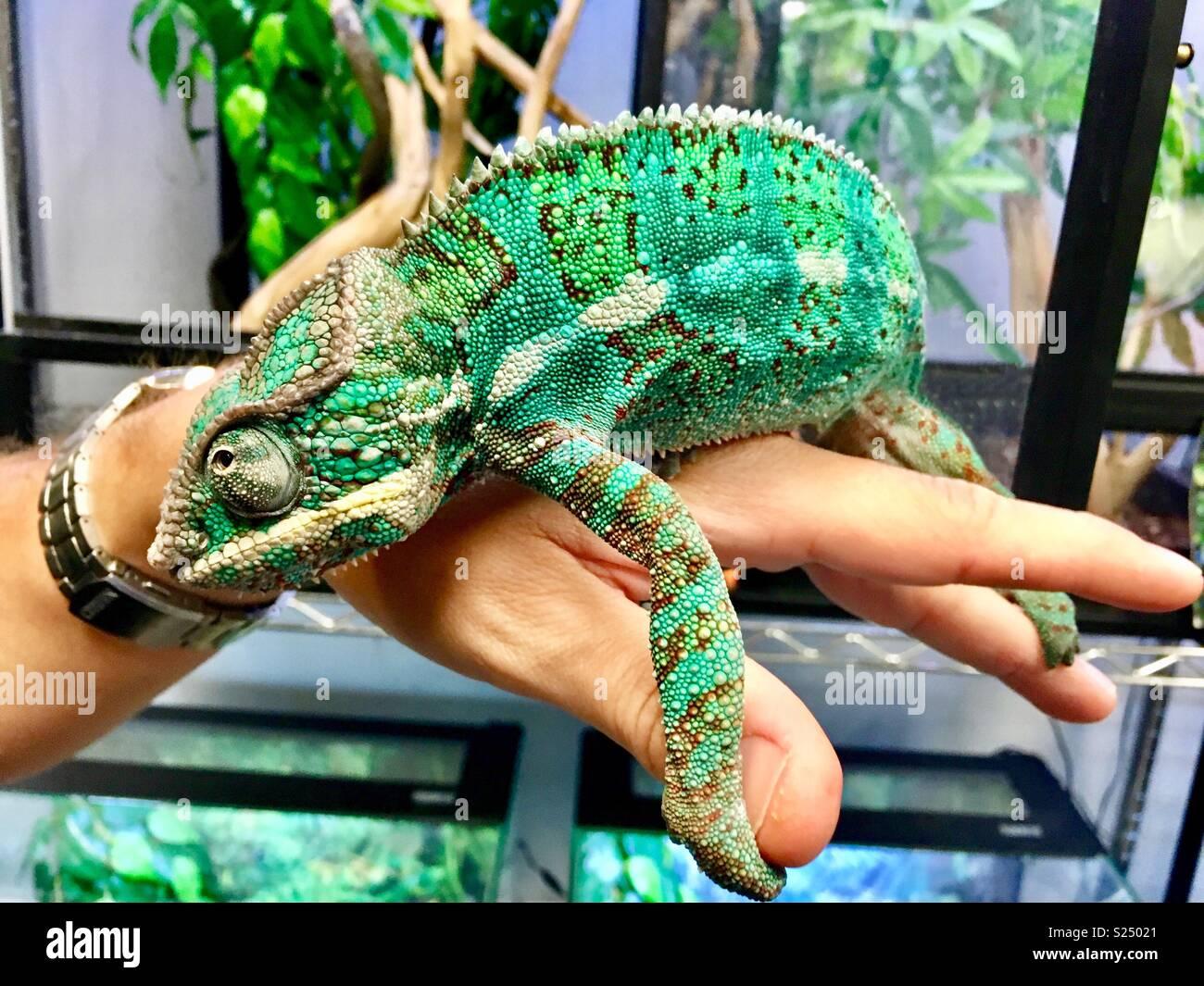 Ambilobe Panther chameleon an Hand des Menschen Stockbild
