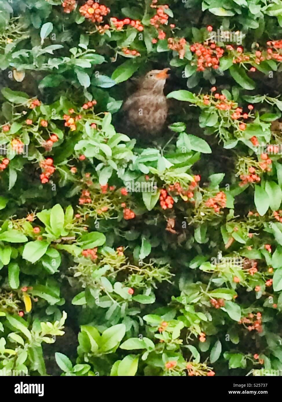 Vogel essen eine Beere im Busch Stockbild