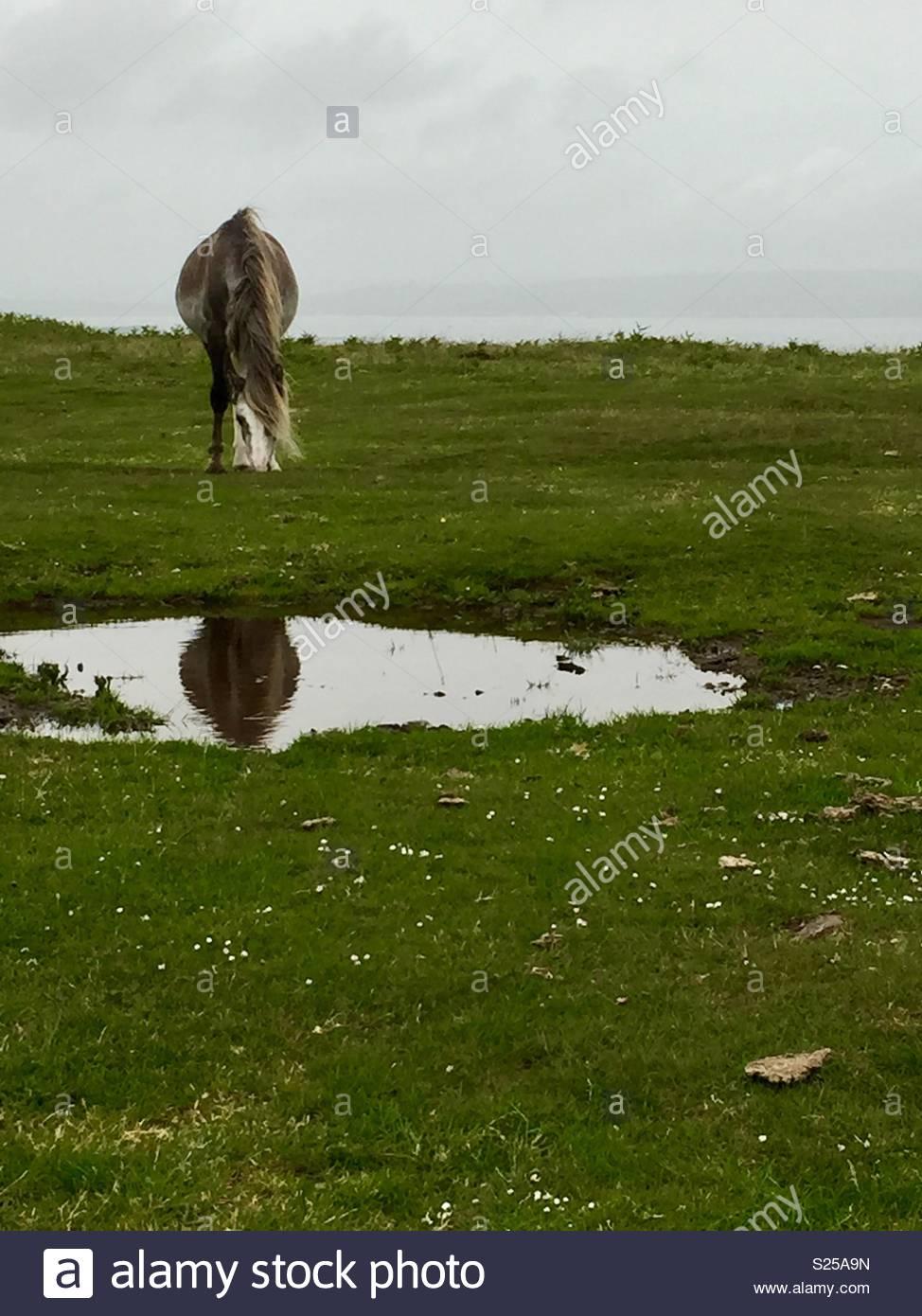 Pferd spiegelt sich im Wasser in Feld Stockbild