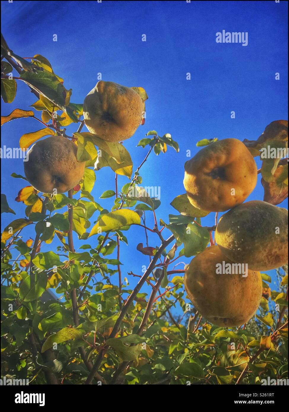 Quitte Baum mit fruchtreife. Stockbild