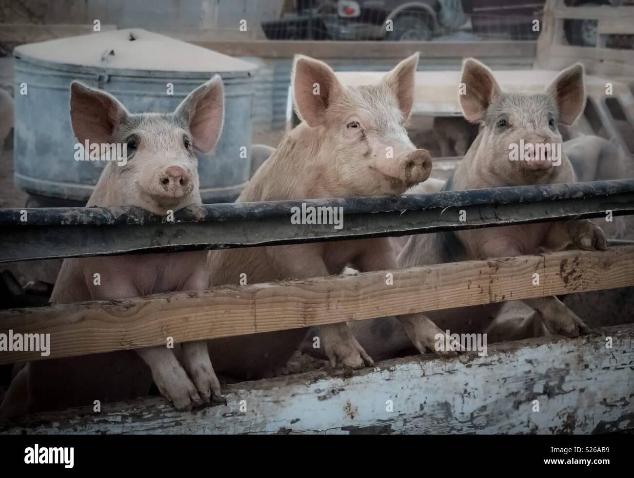 Drei Schweinchen Stockbild