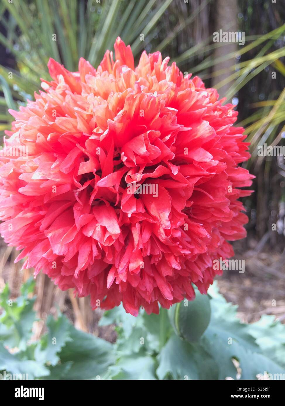 Lust Auf Lachs Pink Poppy Flower Stockfoto Bild 311161915 Alamy