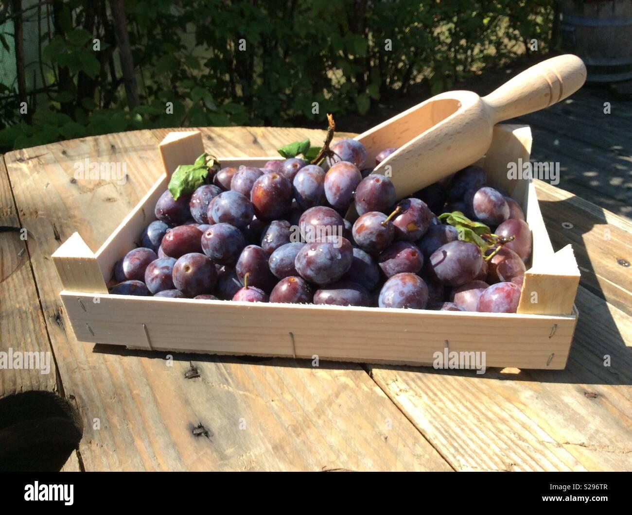 Frisch geernteten Pflaumen und hölzerne Schaufel in Holz Obst Kiste Stockbild