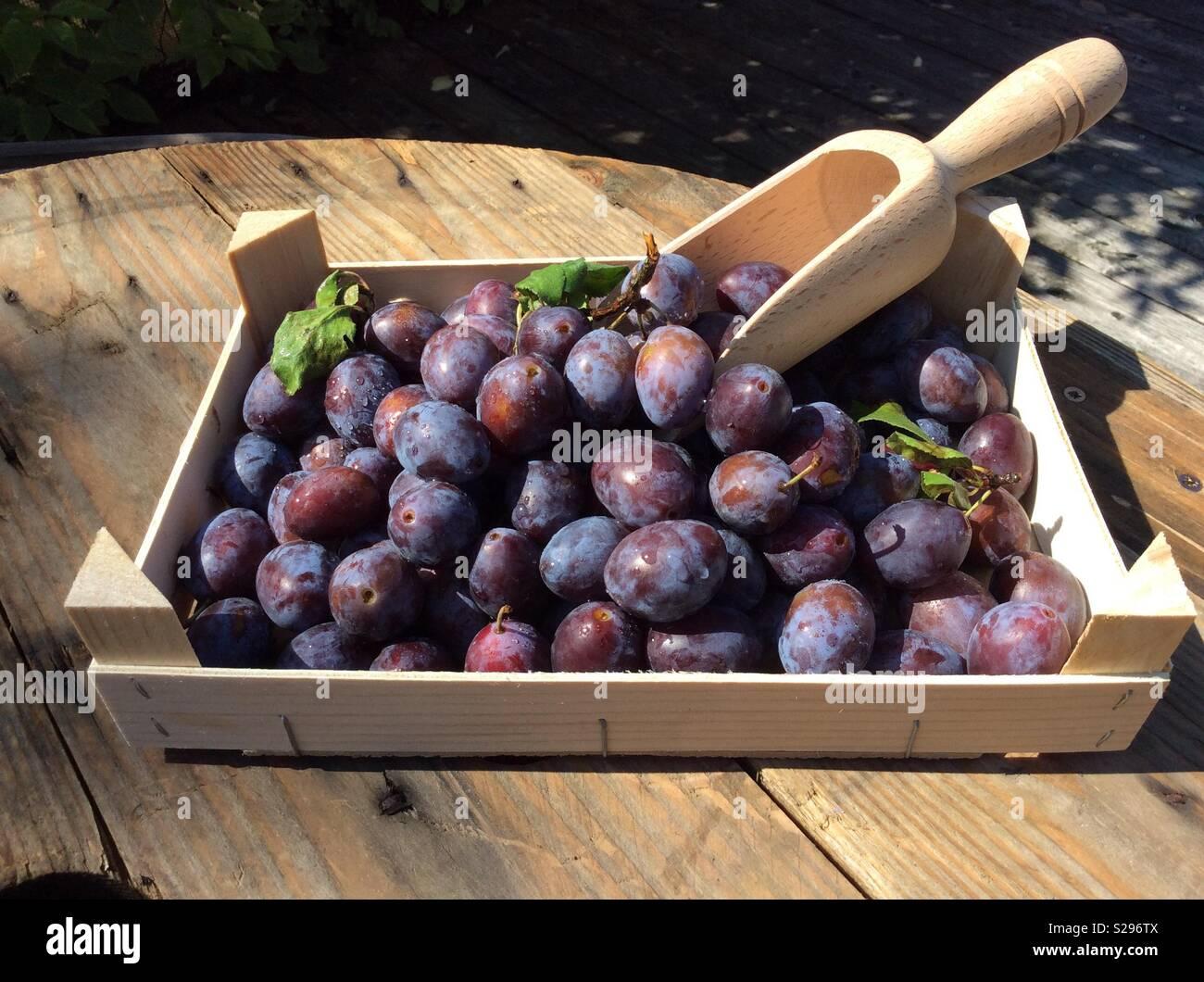 Frisch geernteten Pflaumen und kleine hölzerne Schaufel in Holzkiste Stockbild